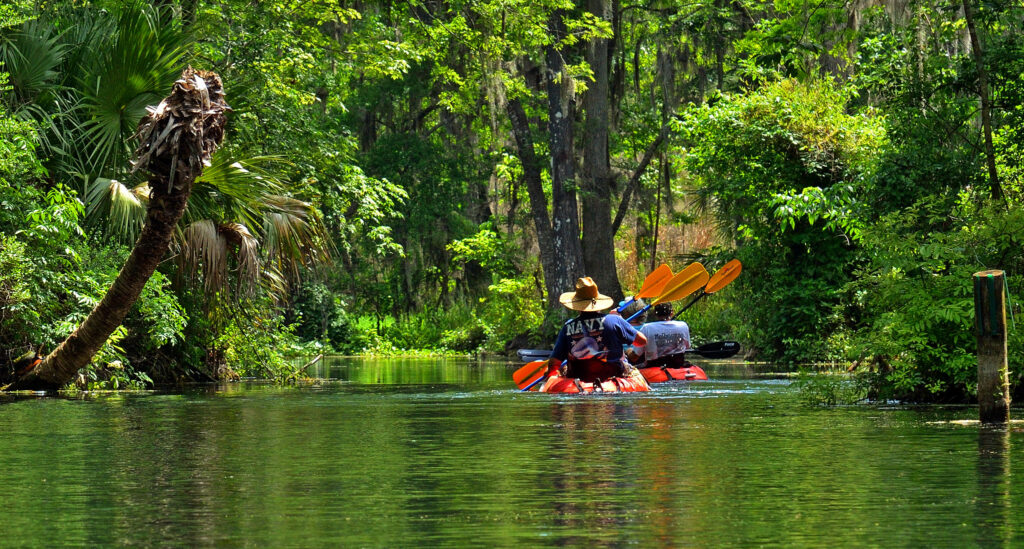 kayakers going through mangrove forests while paddling near tampa bay